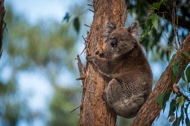 A male Victorian koala preparing for a morning nap Southern koala,koala bear,bush,climbing,cuddly,cute,male,arboreal,eucalyptus,tree,endemic,Australia,marsupial,herbivore,Koala,Phascolarctos cinereus,Diprotodontia,Kangaroos, Wallabies,Phascolarctidae,