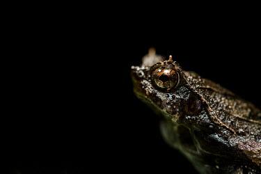 Short-nosed horned frog Short-nosed horned frog,Animalia,Chordata,Amphibia,Anura,Megophryidae,Ophryophryne hansi,frog,frogs,amphibian,amphibians,eye,eyes,skin,pigment,pigmentation,camouflaged,crypsis,close up,macro,negative