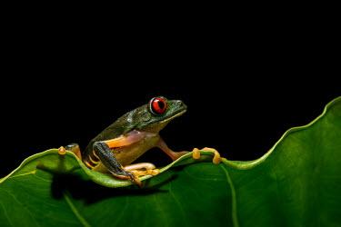 A Red-eyed Tree Frog from the Yucatan Peninsula, Mexico Animalia,Chordata,Amphibia,Anura,Phyllomedusidae,Agalychnis callidryas,red-eyed tree frog,red eye,tree frog,frog,frogs,amphibian,amphibians,eye,eyes,skin,pigment,pigmentation,colourful,colour,leaf,mac
