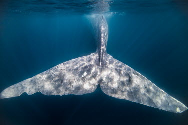 Tail fluke of a pygmy blue whale Balaenoptera musculus brevicauda,pygmy blue whale,blue whale,fluke,marine mammal,surface,swimming,underwater,wildlife,marine mammals,aquatic mammals,aquatic mammal,mammal,mammals,vertebrate,vertebrate