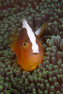 Orange anemonefish emerging from protective anemone fish,vertebrates,water,underwater,aquatic,marine,marine life,sea,sea life,ocean,oceans,sea creature,anemonefish,anemone fish,orange,symbiosis,symbiotic,anemone,anemones,home,relationship,close up,port