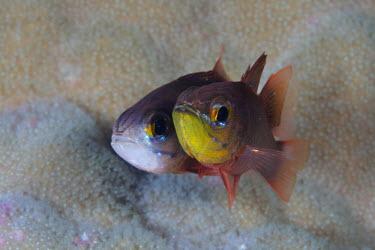 Two cardinalfish hover side by side Animalia,Chordata,Actinopterygii,Perciformes,Apogonidae,Apogon,cardinal fish,cardinalfish,pair,duo,couple,friends,close up,fish,vertebrates,water,underwater,aquatic,marine,marine life,sea,sea life,oce