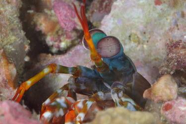 Peacock mantis shrimp revealing itself from a burrow shrimp,shrimps,crustacean,crustaceans,exoskeleton,claw,claws,reef,reef life,Animalia,Chordata,Arthropoda,Crustacea,Malacostraca,Stomatopoda,Odontodactylidae,Odontodactylus,Odontodactylus scyllarus,mar