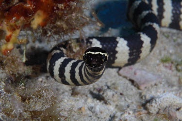 Turtleheaded sea snake looking straight at the camera snake,snakes,reptile,reptiles,scales,scaly,reptilia,cold blooded,aquatic,seasnake,sea snake,sea-snake,black and white,striped,stripes,stripy,marine,marine life,sea,sea life,ocean,oceans,water,underwat