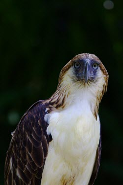 Portrait of a Philippine eagle, the worlds largest eagle bird,birds,bird of prey,birds of prey,predator,talons,carnivore,hunter,raptor,eagle,face,portrait,worried,expression,guilty,embarrassed,shallow focus,Philippine Eagle,Pithecophaga jefferyi,Philippine