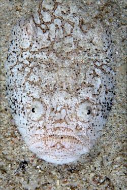 Whitemargin stargazer is an ambush predator, hiding under the sand Animalia,Chordata,Actinopterygii,Perciformes,Uranoscopidae,Uranoscopus,fish,vertebrates,water,underwater,aquatic,marine,marine life,sea,sea life,ocean,oceans,sea creature,camouflage,crypsis,buried,amb