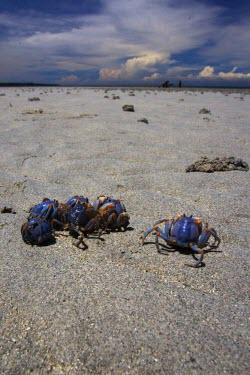 Light-blue soldier crabs emerge on the beach during low tide Animalia,Arthropoda,Crustacea,Malacostraca,Decapoda,Mictyridae,Mictyris,Mictyris longicarpus,crab,crabs,crustacean,crustaceans,exoskeleton,claw,claws,reef,reef life,marine,marine life,sea,sea life,oce