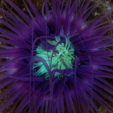 Close up of a neon coloured sea anemone marine,marine life,sea,sea life,ocean,oceans,water,underwater,aquatic,invertebrate,invertebrates,marine invertebrate,marine invertebrates,sea creature,Animalia,Cnidaria,Anthozoa,Hexacorallia,Actiniari