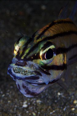 Male cardinalfish guarding a batch of fertilised eggs in his mouth Animalia,Chordata,Actinopterygii,Perciformes,Apogonidae,Apogoninae,Cheilodipterus,fish,vertebrates,water,underwater,aquatic,marine,marine life,sea,sea life,ocean,oceans,sea creature,lined,face,close u