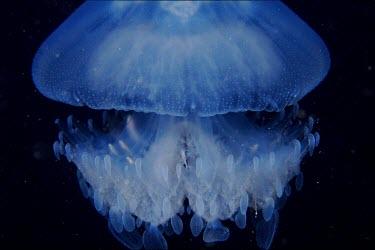 Tiny fish hiding amongst the tentacles of a jellyfish Animalia,Cnidariam,Medusozoa,jellyfish,jelly fish,jelly,medusa,marine,marine life,sea,sea life,ocean,oceans,water,underwater,aquatic,invertebrate,invertebrates,marine invertebrate,marine invertebrates