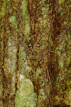 Huntsman spider disguised against the bark of a tree Animalia,Arthropoda,Chelicerata,Arachnida,Araneae,spider,spiders,invertebrate,invertebrates,arachnid,arachnids,ambush,predator,camouflage,camouflaged,huntsman,hunter,tree,bark,disguise,disguised,Hunts
