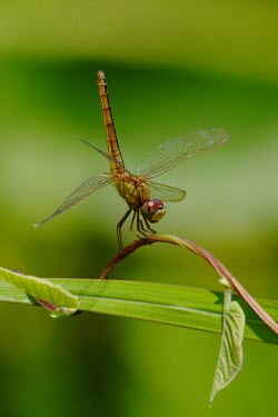 A scarlet skimmer resting on a leaf at the edge of a rice field Oriental Scarlet,Scarlet Skimmer,Animalia,Arthropoda,Insecta,Odonata,Libellulidae,Crocothemis servilia,dragonfly,dragonflies,insect,insects,invertebrate,invertebrates,macro,close up,balanced,resting,g