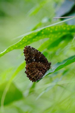 A tiger palmfly resting on a leaf at the edge of a rice field Animalia,Arthropoda,Insecta,Lepidoptera,Nymphalidae,Elymnias,Elymnias nesaea,butterfly,butterflies,insect,insects,invertebrate,invertebrates,antenna,antennae,wing,wings,scales,underside,underwing,palm