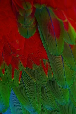 The plumage of a scarlet macaw macaw,tropical,plumage,feathers,wing feather,wing feathers,colourful,colorful,colours,colors,red,scarlet,blue,green,parrot,Scarlet macaw,Ara macao,Parrots,Psittaciformes,Chordates,Chordata,Aves,Birds,