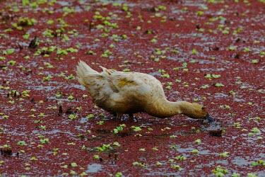 A duck feeding through a rice field in Bali waterfowl,duck,ducks,ponds,lakes,pond,lake,rice paddy,wetland,bird,birds,shallow focus,red,feeding,eating