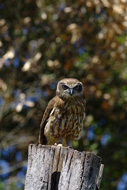 A Southern boobook perching on a tree stump owl,owls,bird of prey,birds of prey,predator,talons,carnivore,hunter,boobook,shallow focus,Southern boobook,Ninox novaeseelandiae,Chordates,Chordata,Aves,Birds,Owls,Strigiformes,True Owls,Strigidae,No