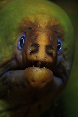Close up portrait of a green moray eel Green Moray,Black Moray,Green Cong,Green Conger,Green Congo,Green Eel,Olive-green Moray Eel,Animalia,Chordata,Actinopterygii,Anguilliformes,Muraenidae,Gymnothorax funebris,eel,eels,face,ugly,portrait,