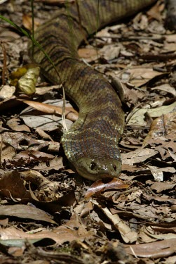 A tiger snake weaving its way through leaf litter Animalia,Chordata,Reptilia,Squamata,Elapidae,Notechis scutatus,snake,snakes,reptile,reptiles,scales,scaly,terrestrial,cold blooded,pigment,Mainland Island Snake,Black Tiger Snake,Eastern Tiger Snake,K