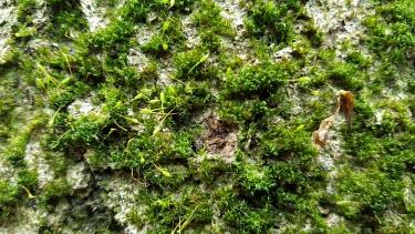 Knothole moss moss,mosses,knothole,plants,plant,uk,uk species,British,British species,endangered plants,endangered plant,Knothole moss,Zygodon forsteri,Mosses,Bryopsida,Bryophytes,Bryophyta,Photosynthetic,Grassland