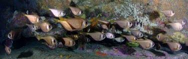 Bullseye are a sweeper fish, they gather under crevices and dark corners of reef Bullseye,Deep Bullseye,Small-scale Bullseye,Pempheris compressa,Animalia,Chordata,Actinopterygii,Perciformes,Pempheridae,Pempheris,sweeper,sweeper fish,fish,vertebrates,water,underwater,aquatic,marine