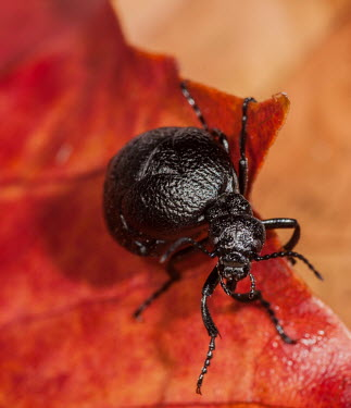 Rugged oil beetle beetle,oil,rugged,coleoptera,beetles,oil beetles,insect,insects,UK,UK species,British,British species,Rugged oil beetle,Meloe rugosus