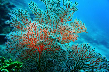 Red gorgonian coral coral,corals,coral reef,reef,invertebrate,invertebrates,marine invertebrate,marine invertebrates,marine,marine life,sea,sea life,ocean,oceans,water,underwater,aquatic,sea creature,red,gorgonian,gorgon