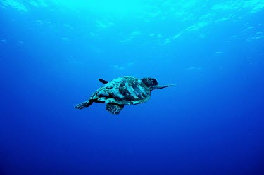 Hawksbill turtle swimming toward the surface sea turtle,sea turtles,turtle,turtles,shell,reptile,reptiles,marine,marine life,sea,sea life,ocean,oceans,water,underwater,aquatic,sea creature,blue,negative space,swimming,swim,carapace,hawksbill,Haw