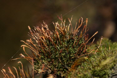 Knothole moss moss,mosses,plant,plants,flora,vegetation,greenery,close up,macro,tree moss,Knothole moss,Zygodon forsteri,Mosses,Bryopsida,Bryophytes,Bryophyta,Photosynthetic,Grassland,Terrestrial,Wildlife and Conse