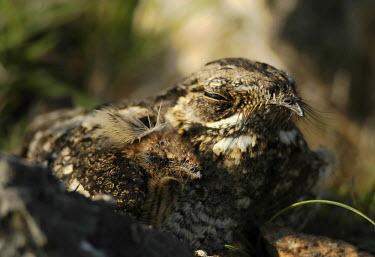 Grey nightjar ground nesting Grey nightjar,Animalia,Chordata,Aves,Caprimulgiformes,Caprimulgidae,Caprimulgus jotaka,bird,birds,wings,feathers,bill,plumage,nest,nesting,roost,roosting,clutch,hatchlings,hatchling,chick,chicks,shall