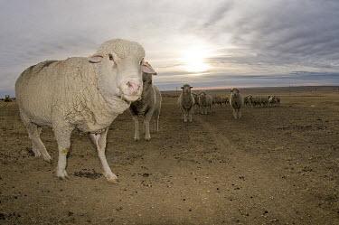 Targhee sheep posing on plains Targhee sheep,Animalia,Chordata,Mammalia,Artiodactyla,Bovidae,Ovis,Ovis aries,herbivores,herbivore,vertebrate,mammal,mammals,terrestrial,ungulate,sheep,livestock,famed,farm animal