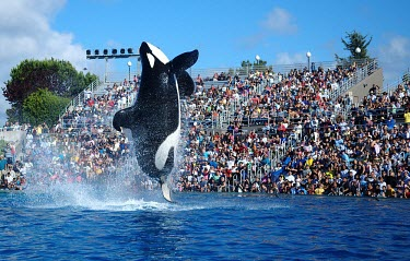 An orca performing for human entertainment marine mammal,marine mammals,aquatic mammals,aquatic mammal,mammal,mammals,vertebrate,vertebrates,marine life,sea life,water,theme park,amusement,amusement park,captive,trapped,humans,human impact,ani