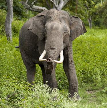 Asian elephant emerging from forest mastodon,mastodons,mammoth,mammoths,elephant,elephants,trunk,trunks,herbivores,herbivore,vertebrate,mammal,mammals,terrestrial,tusks,tusk,jungle,forest,India,green background,portrait,Asian elephant,E