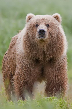 A brown bear with a thick fur coat bear,bears,looking at camera,fluffy,portrait,big,mammal,mammals,vertebrate,vertebrates,terrestrial,omnivore,shallow focus,Brown bear,Ursus arctos,Carnivores,Carnivora,Bears,Ursidae,Chordates,Chordata,