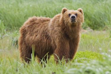 A Kodiak bear smelling the surroundings Ursus arctos middendorffi,Kodiak bear,Alaskan brown bear,bear,bears,looking at camera,fluffy,portrait,big,mammal,mammals,vertebrate,vertebrates,terrestrial,omnivore,shallow focus,smell,sniff,sniffing,
