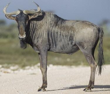 Male blue wildebeest herbivores,herbivore,vertebrate,mammal,mammals,terrestrial,Africa,African,savanna,savannah,safari,cattle,ungulate,bovine,wildebeest,profile,male,Blue wildebeest,Connochaetes taurinus,Mammalia,Mammals,