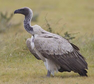 White-backed vulture on the ground vulture,vultures,scavenger,scavengers,carnivore,bird,birds,bald,White-backed vulture,Gyps africanus,Accipitridae,Hawks, Eagles, Kites, Harriers,Falconiformes,Hawks Eagles Falcons Kestrel,Aves,Birds,Ch