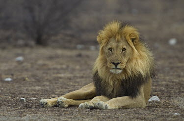 Moody looking male lion laying on scrubland cat,cats,feline,felidae,predator,carnivore,big cat,big cats,lions,apex,vertebrate,mammal,mammals,terrestrial,Africa,African,savanna,savannah,safari,shallow focus,moody,mood,male,mane,looking at camera
