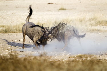 Male blue wildebeest battling one another herbivores,herbivore,vertebrate,mammal,mammals,terrestrial,Africa,African,savanna,savannah,safari,cattle,ungulate,bovine,wildebeest,fight,male,males,head-butt,head butting,dominance,aggression,alpha,d