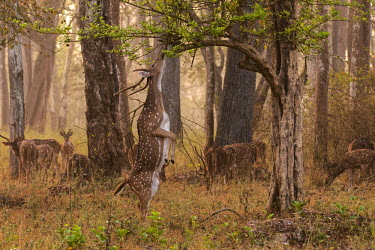 A chital stretching on its hind legs for soft vegetation herbivores,herbivore,vertebrate,mammal,mammals,terrestrial,ungulate,deer,deers,ruminant,feeding,grazing,eating,forest,woodland,stretching,standing,tall,food,leaves,hungry,Chital,Axis axis,Chordates,Ch