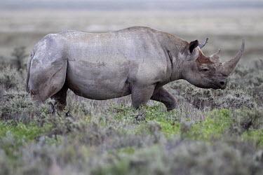 A black rhinoceros passing through shrubs rhinos,rhino,horn,horns,herbivores,herbivore,vertebrate,mammal,mammals,terrestrial,Africa,African,savanna,savannah,safari,profile,grey,Black rhinoceros,Diceros bicornis,Mammalia,Mammals,Chordates,Chor