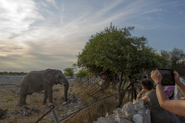 Tourists photographing a African elephant at the fence of a reserve mastodon,mastodons,mammoth,mammoths,elephant,elephants,trunk,trunks,herbivores,herbivore,vertebrate,mammal,mammals,terrestrial,Africa,African,savanna,savannah,safari,tourism,tourists,humans,people,pho