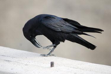 A raven cleaning its feet corvid,close up,black,preening,bird,birds,grey background,Raven,Corvus corax,Crows, Ravens, Jays,Corvidae,Perching Birds,Passeriformes,Aves,Birds,Chordates,Chordata,Temperate,Terrestrial,North America