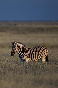 A plains zebra in low light striped,stripes,herbivores,herbivore,vertebrate,mammal,mammals,terrestrial,Africa,African,savanna,savannah,safari,zebra,wild horse,horse,horses,equid,equine,shallow focus,Plains zebra,Equus quagga,Cho