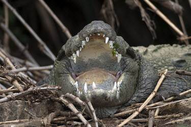 A mugger with its mouth open crocodilian,reptile,reptiles,scales,scaly,cold blooded,crocodile,jaw,jaws,mouth,teeth,shallow focus,mouth open,Mugger,Crocodylus palustris,Chordates,Chordata,Reptilia,Reptiles,Broad-snouted crocodile,