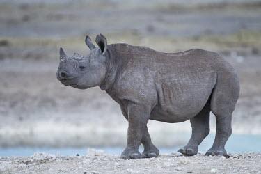 A young black rhinoceros rhinos,rhino,horn,horns,herbivores,herbivore,vertebrate,mammal,mammals,terrestrial,Africa,African,savanna,savannah,safari,black rhino,young,juvenile,shallow focus,Black rhinoceros,Diceros bicornis,Mam