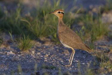 Burchell's courser close up Burchell's courser,Animalia,Chordata,Aves,Charadriiformes,Glareolidae,Cursorius rufus,bird,birds,close up,shallow focus,big eyes,scrub,scrubland,wader,wading bird