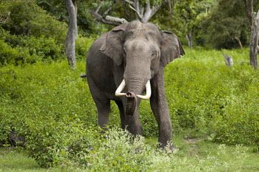 An Asian elephant emerging from forest mastodon,mastodons,mammoth,mammoths,elephant,elephants,trunk,trunks,herbivores,herbivore,vertebrate,mammal,mammals,terrestrial,tusks,tusk,jungle,forest,India,green background,portrait,Asian elephant,E