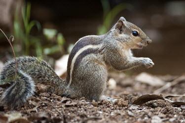 Indian palm squirrel holding a nut mammal,mammals,vertebrate,vertebrates,herbivore,herbivores,squirrel,squirrels,cute,tail,bushy tail,striped,stripy,foraging,nuts,food,close up,shallow focus,Indian palm squirrel,Funambulus palmarum