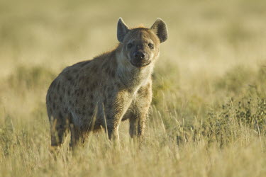 Portrait of a spotted hyaena in soft light hyaena,hyena,spotted hyena,predator,scavenger,carnivore,spotted,spots,pattern,patterned,mane,savanna,savannah,Africa,grassland,shallow focus,looking at camera,Spotted hyaena,Crocuta crocuta,Chordates,