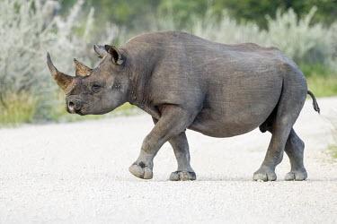 A black rhinoceros crossing a track rhinos,rhino,horn,horns,herbivores,herbivore,vertebrate,mammal,mammals,terrestrial,Africa,African,savanna,savannah,safari,black rhino,Black rhinoceros,Diceros bicornis,Mammalia,Mammals,Chordates,Chord